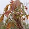 大棚香椿苗規格 大棚香椿苗品種 紅油香椿苗供應價格
