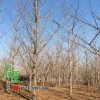 实生银杏图片-实生银杏价格-绿化苗木基地产地