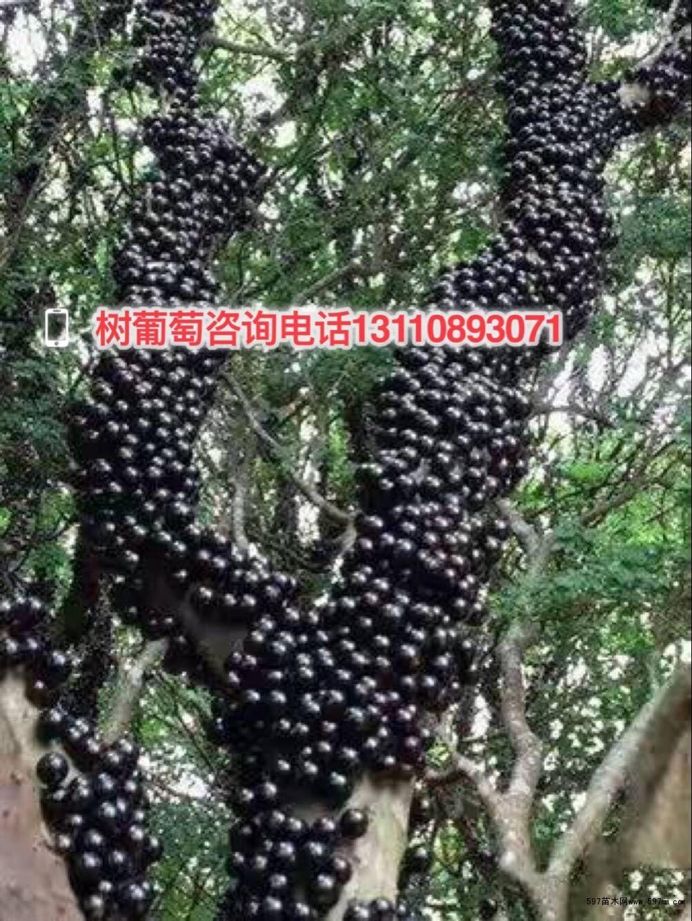 广东韶关3年树葡萄树苗价格 广东树葡萄多少钱一斤