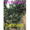 15公分桃树最新价格|大桃树哪里有|占地大桃树15公分价格
