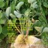 法兰地草莓苗生长  法兰地草莓苗看苗