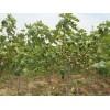 山东泰安批发优质0.5-3公分无花果小苗  果树苗批发价格