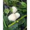 白雪公主草莓苗批发白雪公主草莓苗基地 白雪公主草莓苗哪里有卖
