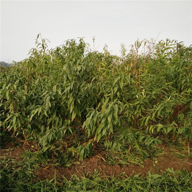 基地果树品种有:桃树苗 梨树苗 核桃苗  枣树苗 杏树苗 山楂苗 柿子