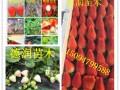 红颜草莓苗新报价