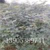 花椒苗、花椒树苗栽培技术、优质大红袍花椒树苗多少钱卖