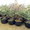 北陆蓝莓苗基地 极抗寒中早熟蓝莓品种