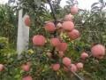 辽宁寒富苹果树苗