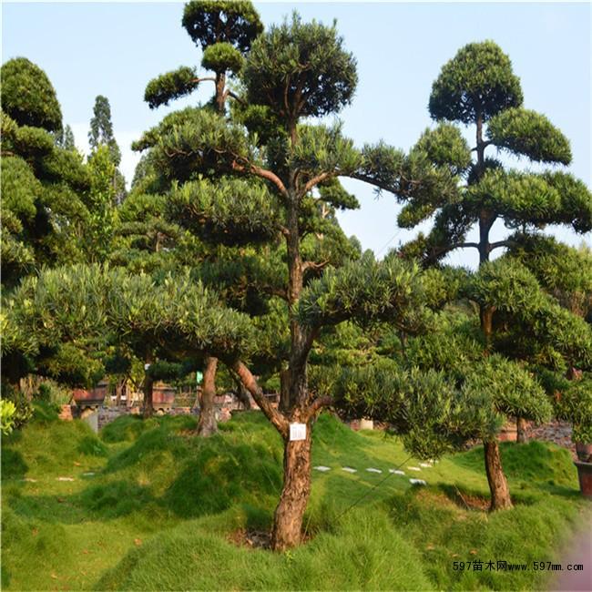 造型罗汉松盆景名贵树木园林工程绿化树