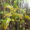 哪里有卖红油香椿苗  香椿树苗品种 山东香椿树苗价格