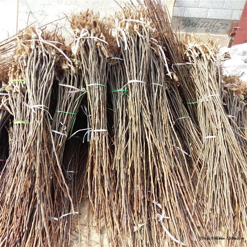 玉露香梨树苗 新疆库尔勒香梨树苗价格