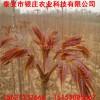山东香椿苗价格 红油香椿苗价格 大棚香椿苗多少钱一棵