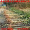 山东红油香椿苗价格 供应红油香椿苗 大棚香椿苗多少钱一棵