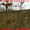 批发红油香椿苗价格 哪里有卖大棚香椿苗多少钱一棵