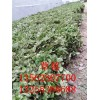 红颜草莓苗什么时候栽 红颜草莓苗种苗产地