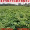 苗圃常年培育销售红油香椿苗价格 适合南北方种植香椿树苗