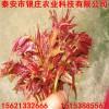 泰山红油香椿树苗价格 红头香椿芽苗价格 2年香椿苗价格
