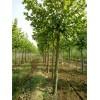 胸径12公分15公分法桐树产地批发价格