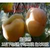 磨盘柿柿子苗多少钱一棵?柿子苗价格