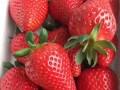 优质草莓苗品种