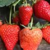 新品种草莓苗基地 草莓苗种植方法 山东泰安草莓苗