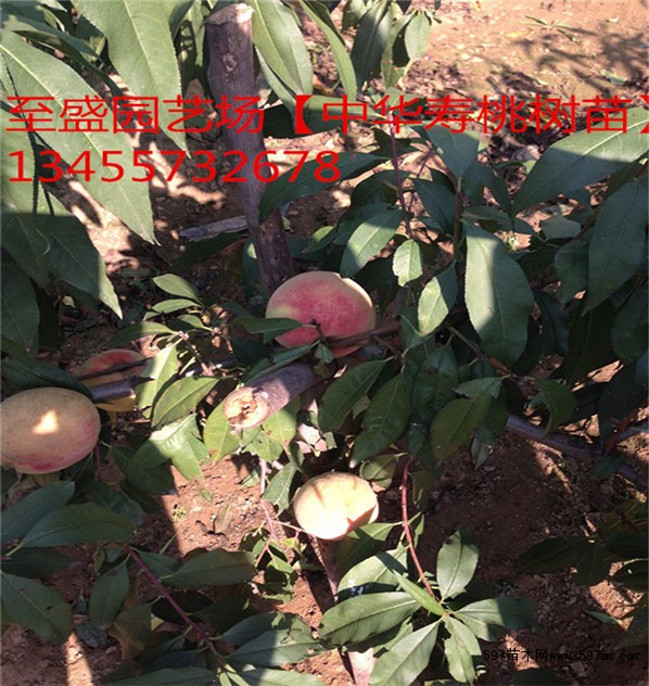 夏雪桃树苗价格价格 苗木 苗木报价