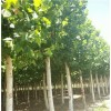 造型法桐树12公分15公分18公分一级树什么价位
