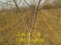 7公分核桃树苗价格多少钱一棵
