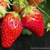奶油草莓苗 奶油草莓苗除草