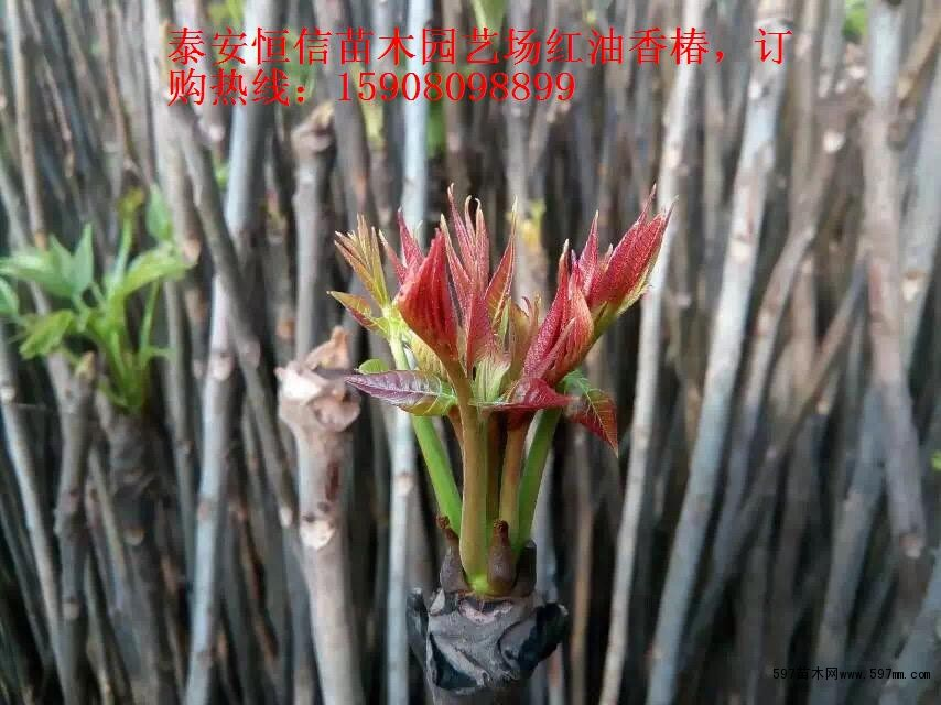 第二点落叶树可抽稀后进行强截,多留生长枝和萌生的强枝,修剪量可达6