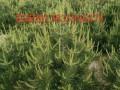 3米白皮松种植基地