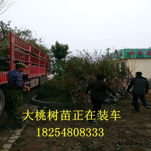 红富士苹果幼苗亩产量红富士苹果幼苗供应商