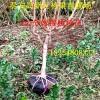黄金冠桃树苗供应商雪桃树苗图片