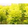我处大量供应金叶白蜡芽子及金叶白蜡成品苗