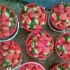 奶油草莓苗 奶油草莓苗休眠