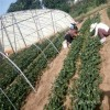 奶油草莓苗 奶油草莓苗间距