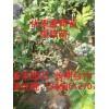 蓝莓苗  葡萄座腔菌茎枯病的症状及预防