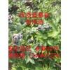 蓝莓苗 灰霉病的症状及其预防