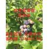 蓝莓苗  疫霉菌根腐病的症状及其预防