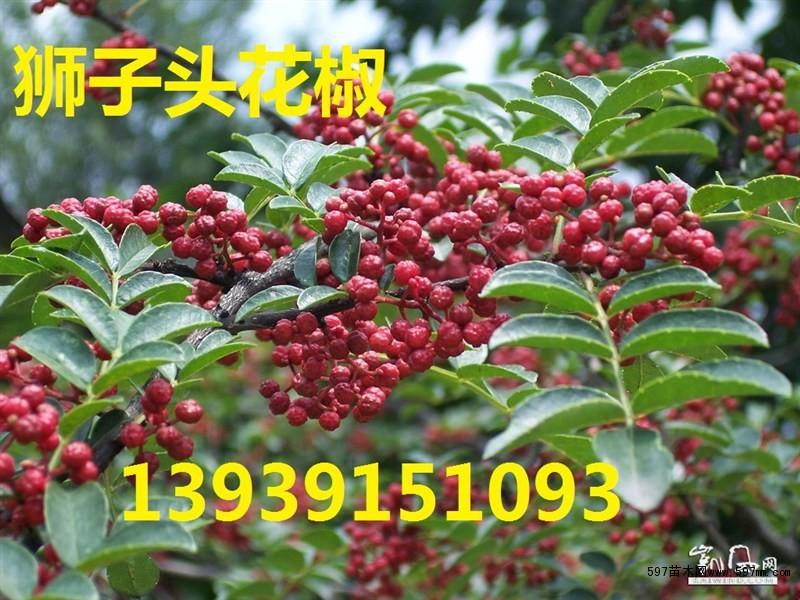 优质大红袍狮子头花椒树种植市场前景,哪里有无刺花椒