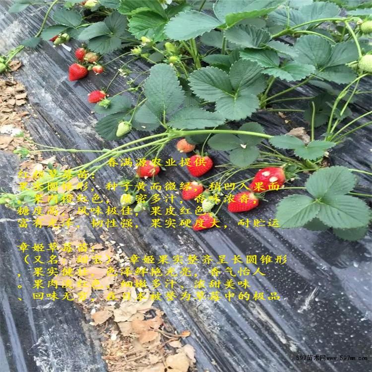 法兰地草莓苗品种 法兰地草莓苗果树在1年中经由抽芽、抽枝、开花、成果,耗费了少量的养分物质,为了给树体添加养分贮备,使其平安越冬,促进翌年花芽分化,进步座果率,必需增强果树休眠期治理,现中国农林网将引见以下几点办法:   法兰地草莓苗年夜棚草莓病虫害以农业防治为主,药剂防治为辅。可经过选用抗病种类、培育脱毒壮苗、高垄栽植、地膜掩盖、洁净泥土、防止干旱、高湿等办法预防病虫害的发作。如发现病害,要留意开花前后不宜用药,以免影响授粉,使畸形果增多,也应选择高效、低毒、低残留农药并严厉节制农药用量和平安距离期。