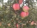 山东红富士苹果树苗品种