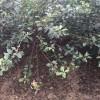 山东富士苹果苗 山东红富士苹果树苗 山东富士苹果树树苗新品种