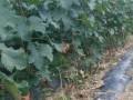 山东巨峰苹果树苗