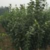 山东甜柿柿子树苗、山东甜柿柿子树苗多少钱一棵