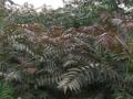 红油香椿树苗品种