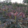 山东香椿苗、山东香椿树苗、山东香椿树树苗新品种