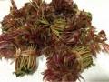 大棚红油香椿树苗