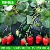 四季草莓苗缓苗 赛娃草莓苗产量如何