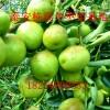 黄桃苗基地种植技术大棚专用香椿种苗价格参考